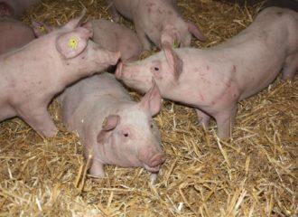 Schweine Gruppe