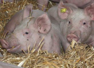 Schweine Sonneweid