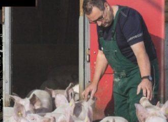 Schweine Stephan